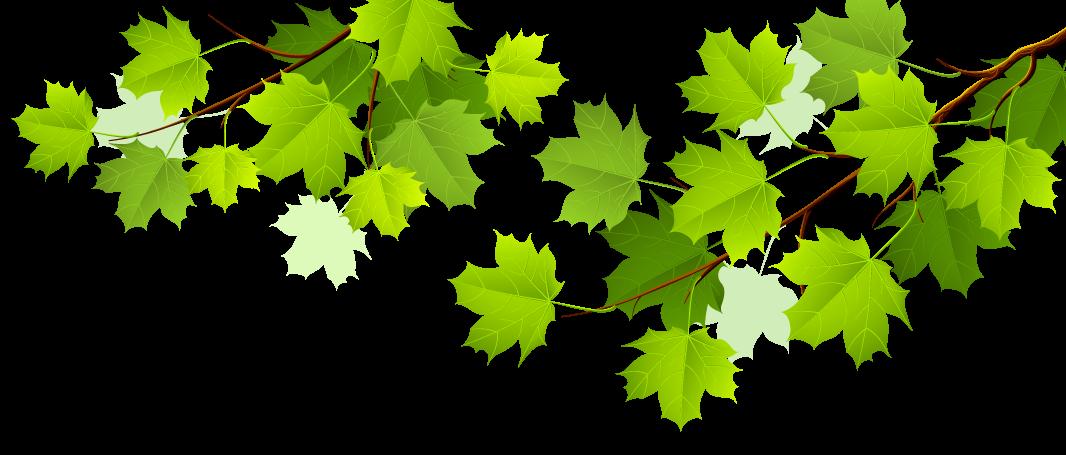 ветка-с-кленовыми-зелеными-листьями-02