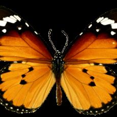 бабочка0
