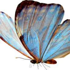 бабочка11