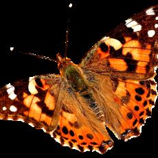 бабочка15