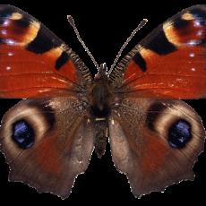 бабочка16