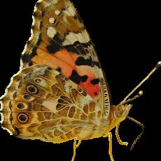 бабочка18