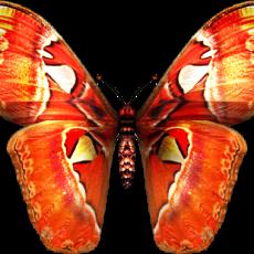 бабочка8